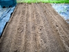 Asparagus beds - complete