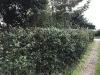 hedge-016