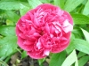 Andy\'s Poeny \'Paeonia officinalis\'