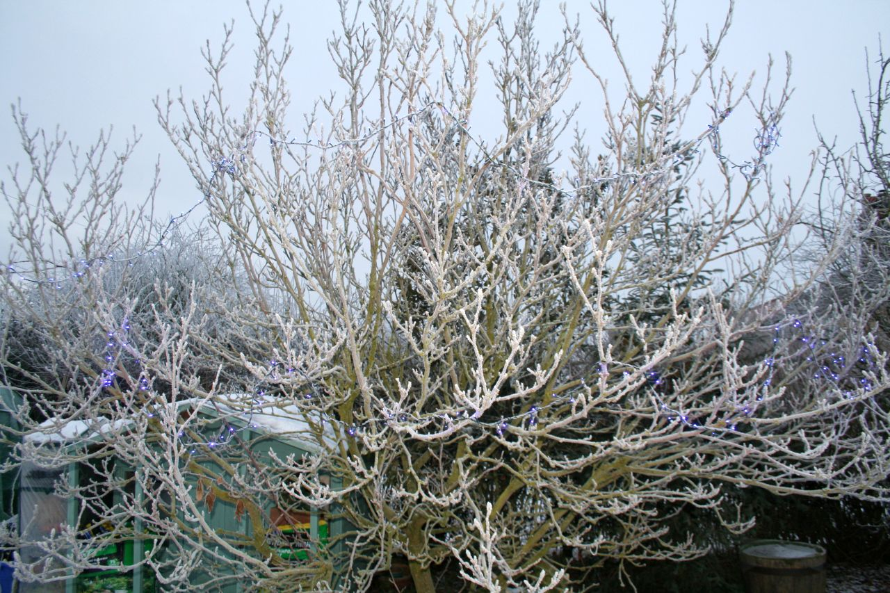 Magnolia tree on a frosty day