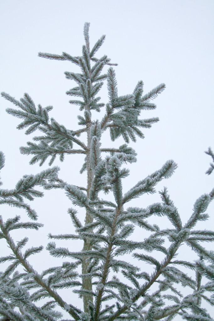 Christmas Tree on a frosty day