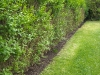 Privet hedge border