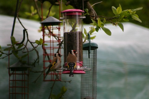 Sunday Goldfinches!