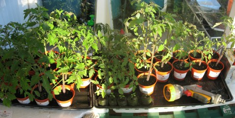 Tomatoe Plants in Porch