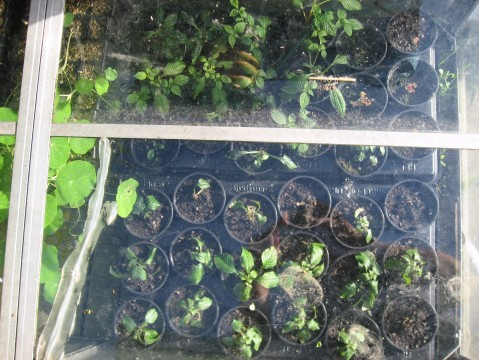 Cold Frame full of Busy Lizzie 'Blue Sky'™