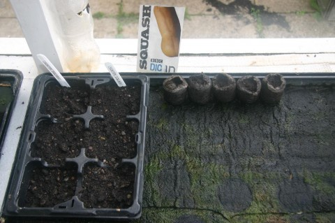 butternut squash seeds planted