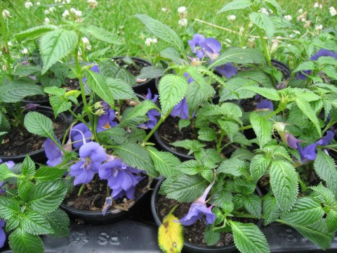 Impatiens Busy Lizzie 'Blue Sky'™