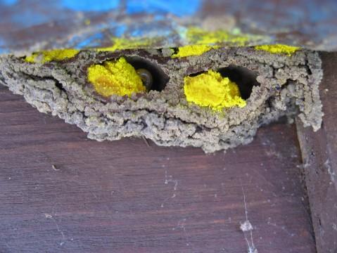 Mason Bee 'nest' larva on pollen/nectar provision mass