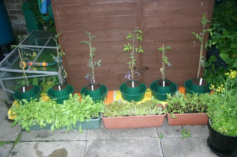 tomatoe plants planted out