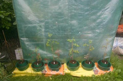 tomatoe plants next to greenhouse