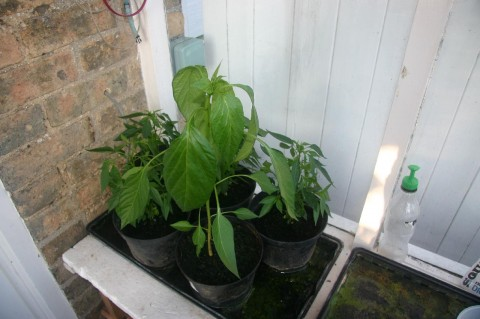 Chilli plants in July in the porch