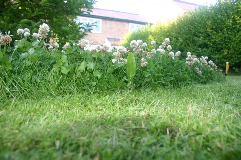 Closeup of clover in the front lawn