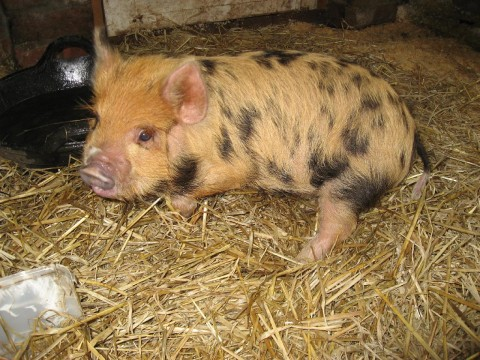 Lottie the Kune Kune piglet