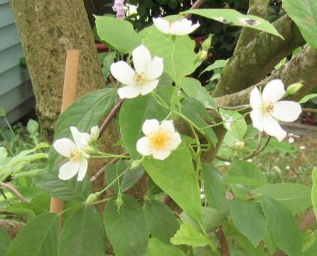 Rosa filipes 'Kiftsgate' in flower