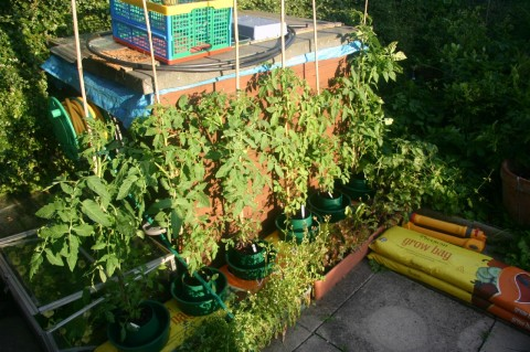 tomatoe plants in July 2009 next to shed