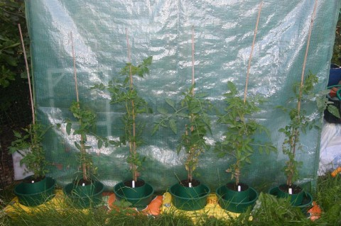 tomatoe plants in July 2009 next to greenhouse