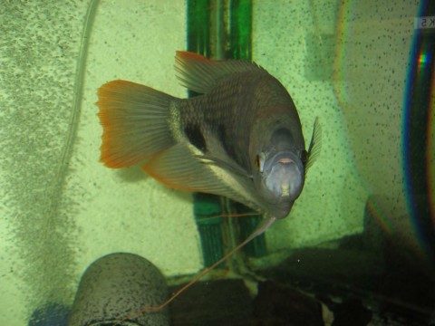 My Giant Red Tail Gourami