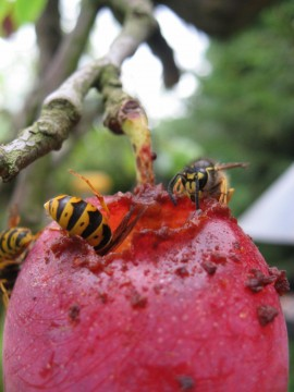 wasps eating my victoria plums