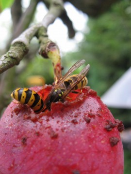 another close-up of wasps on my plums