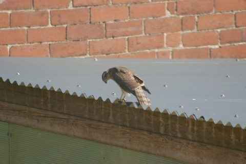 Sparrowhawk on aviary No.3