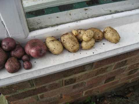 Edzell Blue and Lady Balfour potatoes