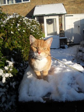 Angus in the snow No.1