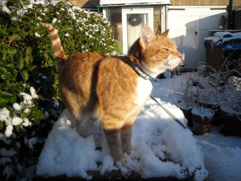 Angus in the snow No.2