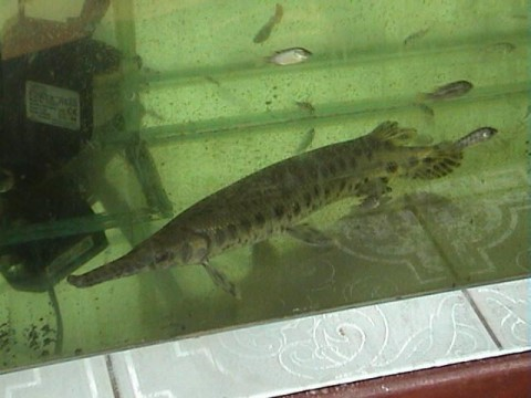 Alligator Gar in a tank in Vietnam