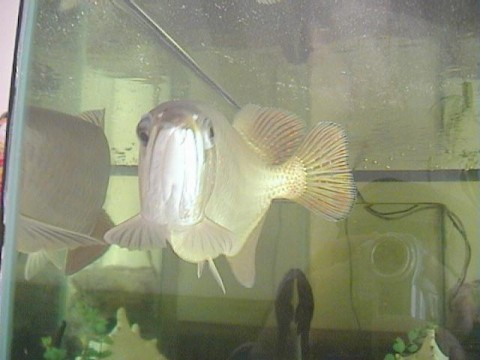 Asian Arrowana on display in a fish tank in Vietnam