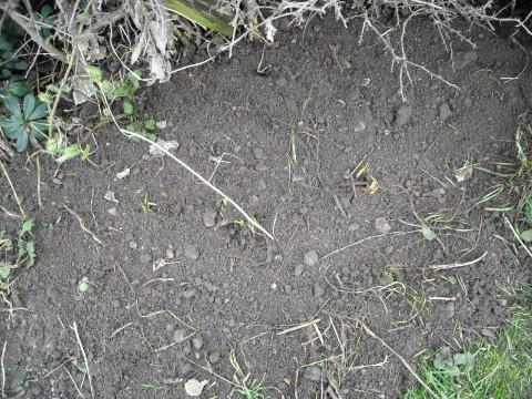 Comfrey (bocking 14) planted