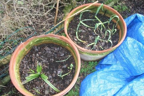 Iberian white garlic in February