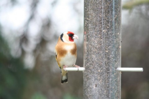 goldfinch-singleton3