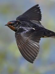 swallow180_tcm9-174734