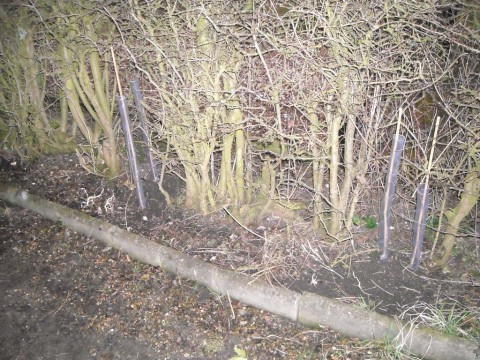 Hawthorn whips planted on the drive