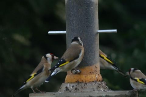 quad-goldfinch1