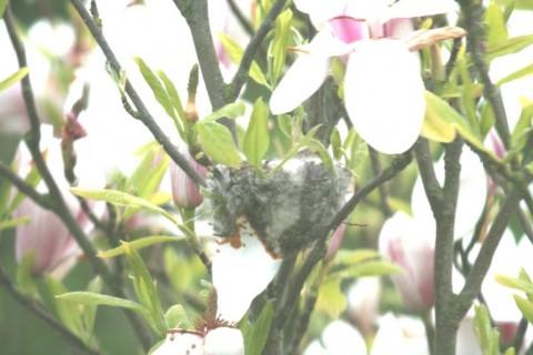 Goldfinch birds nest in Magnolia tree