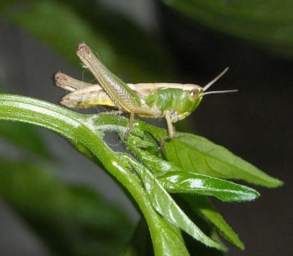 British Grasshopper