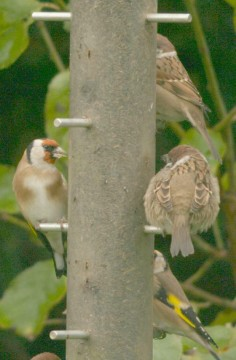 Goldfinchs and Sparrows on niger