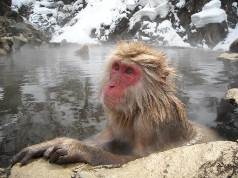 Snow Monkey in Onsen in Nagano