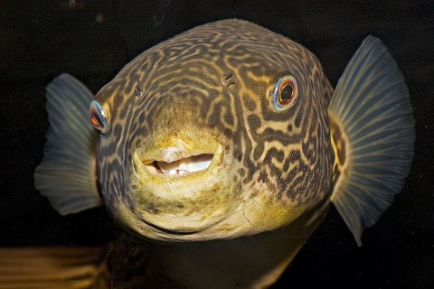 Giant Freshwater Puffer - Tetraodon mbu
