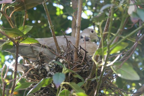 Two young Collared Dove 'Streptopelia decaocto'