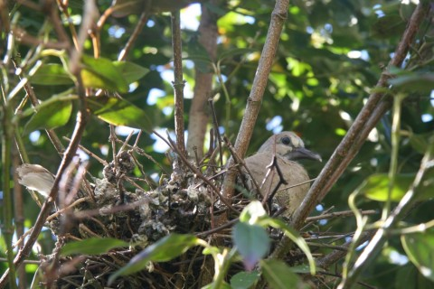 A young Collared Dove 'Streptopelia decaocto'