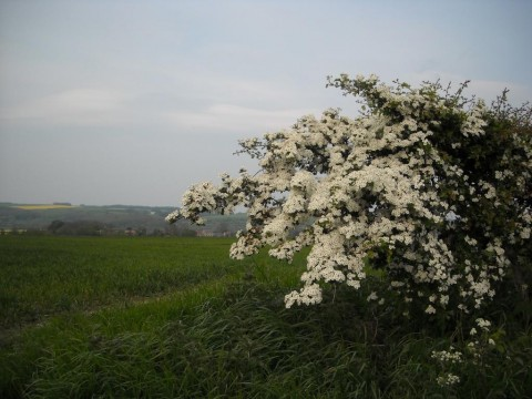 Hawthorn bush on the Yorkshire Wolds