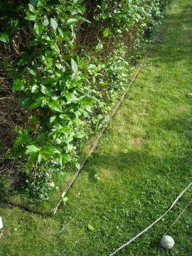 Privet hedge - marketing out new border
