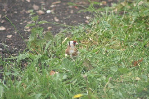 Single Goldfinch feeding on Dandelion seeds