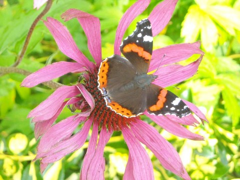 Red Admiral, Vanessa atalanta on Echinacea purpurea