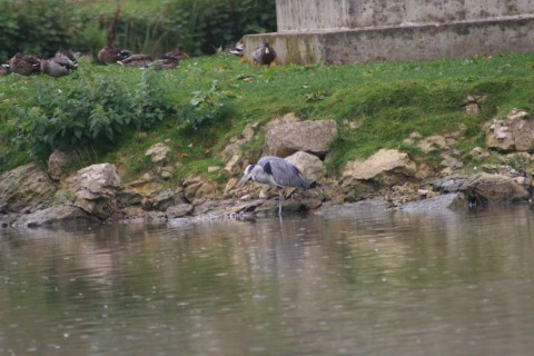 Grey Heron on Bishop Burton pond (75-300mm)