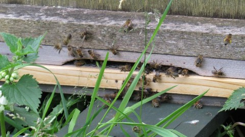 Honey Bees - Day 22 - After sawrm arrived in my beehive