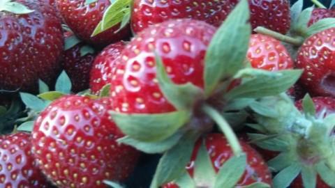 strawberryfields1