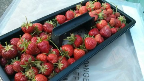 strawberryfields2